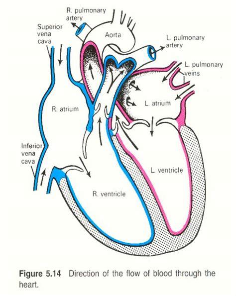 unlabeled heart diagram   clip art