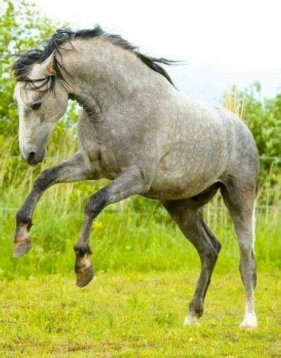 andalusian horse horses clydesdale draft