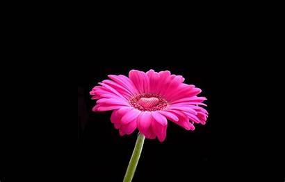 Pink Daisy Flower Wallpapers Francesca Mattei Wallpapersafari
