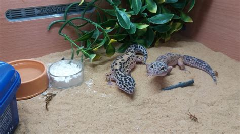 pair of leopard geckos and set up chipping cden