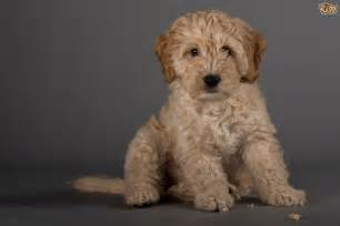 cockapoo dog breed information buying advice photos and