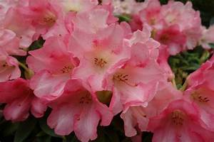 Rhododendron Blüten Schneiden : rhododendron bl ten entfernen rhododendron schneiden obstbaumschnitt und garten pflanzen ~ A.2002-acura-tl-radio.info Haus und Dekorationen