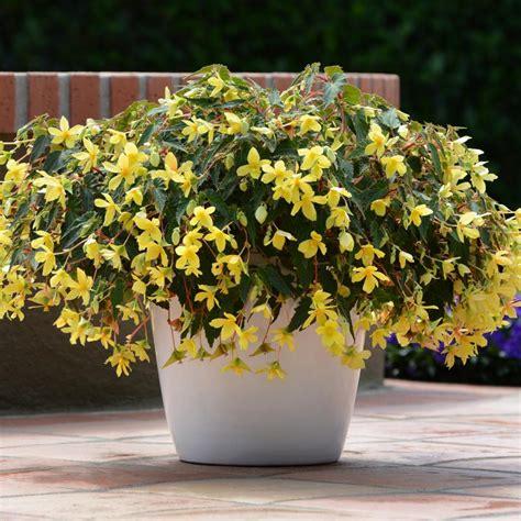 easy  grow annual shade flowers hgtv