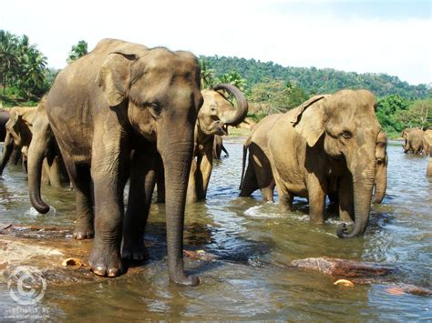 pinnawela elephant orphanages