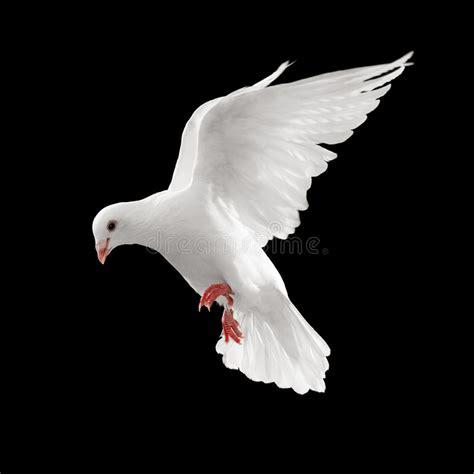 taube im flug stockbild bild von hintergrund symbol