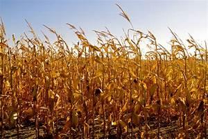 Griggs Dakota: Corn Harvest Begins Before October