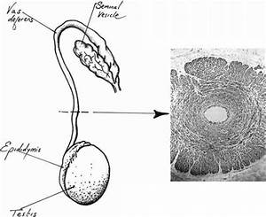 Rapid Sperm Transport The Vas Deferens And Sperm