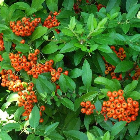 shrub with berries in winter 306 best images about shrub evergreen on pinterest trees and shrubs sun and green leaves