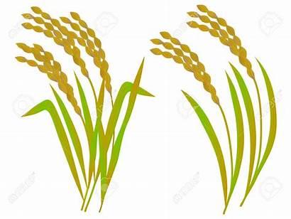 Rice Clipart Vector Grains Crop Grain Illustration