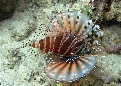 dendrochirus zebra wikipedia