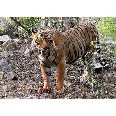 Memorable Wildlife Experience at Ranthambhore National