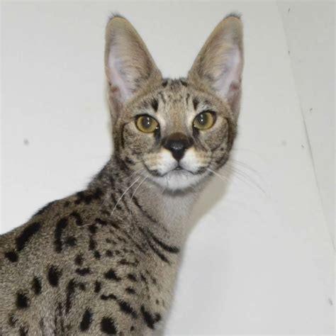 Savannah Cat Price Cost Of Savannah Kittens Amanukatz