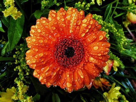 Gerbera Pflanzen. Great Neue Wege Pflanzen Gerbera