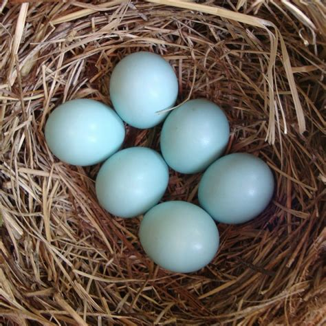 what color are bluebird eggs running with stilettos bluebirds of happiness dandelions