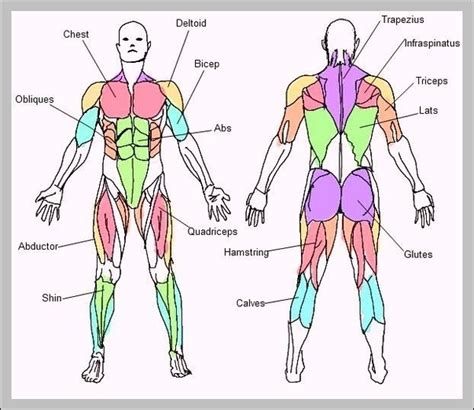 These names are derived from latin. Diagram Of Body Muscles And Names - How Many Muscles Are ...