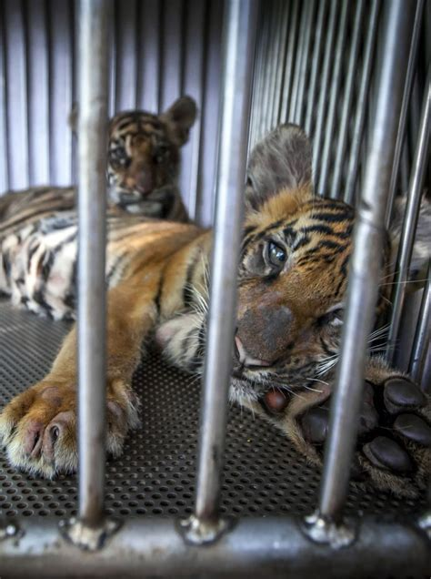 animals behind bars zoos horror cage cages thailand animal locked caters very tigers shocking tiny young row gekoski aaron pic