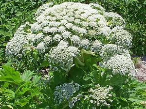 Giant hogweed: What the toxic plant does to humans, what ...