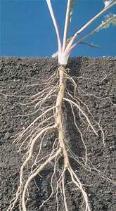 Fibrous root systems consist of a mass of similarly sized ...