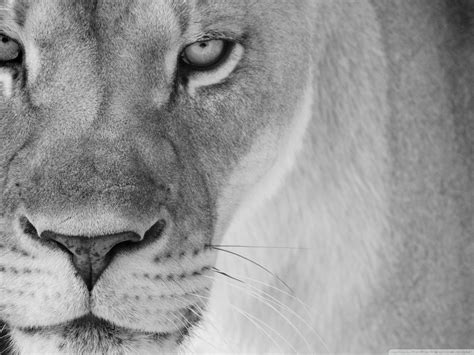 lioness wallpapers brown lioness wallpapers