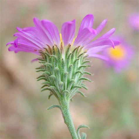 autumn false tansy aster  arizona native plant society