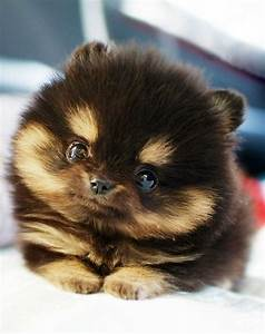 This Teacup Pomeranian is the Cutest Thing Ever