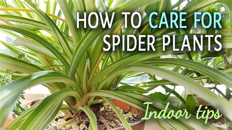 How To Care For Spider Plants Indoors Youtube