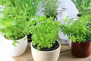 Welche Pflanzen Passen Gut Zu Hortensien : kr uter pflanzen zeitpunkt substrat und welche passen ~ Lizthompson.info Haus und Dekorationen