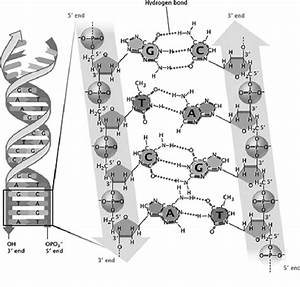 Watson Crick Model Of Dna Structure  Reprinted By Permission From