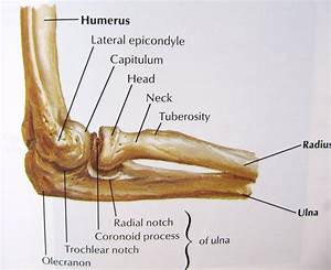 Bones Of The Elbow Joint Lateral View