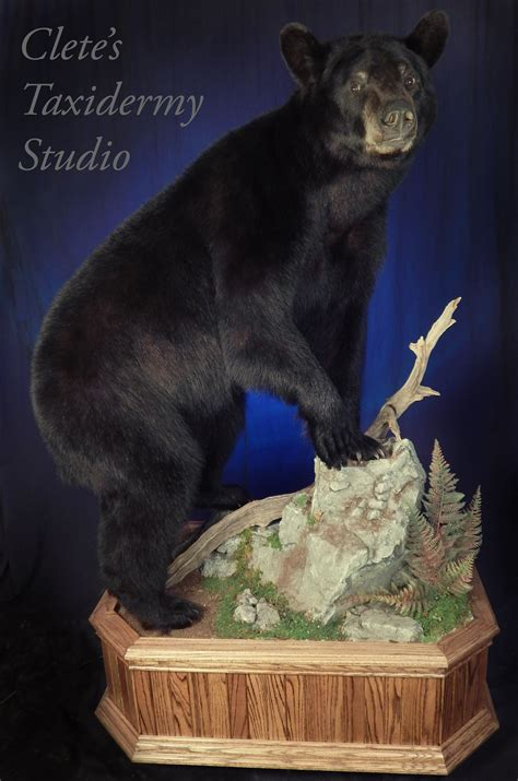 cletes taxidermy studio bear skull bear mounts taxidermy