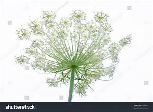 Wild Flower Against White Background Stock Photo 4528945 ...