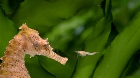 seahorse eating hd stock video    framepool