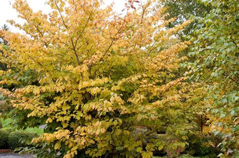plant witch hazel witch hazels explode with color and sound state by state gardening enewsletter