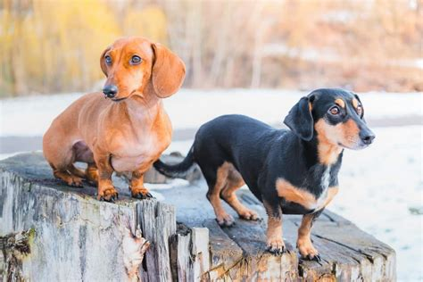 Great Dane Chihuahua Mix (Chi-Dane-Dane): Do They Exist?