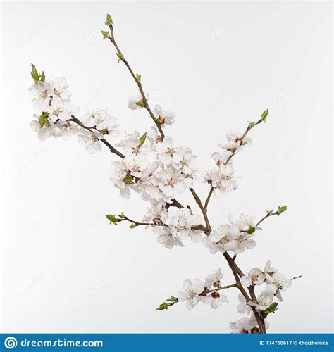 Cherry Blossoms Blooming Cherry Tree Branch With White