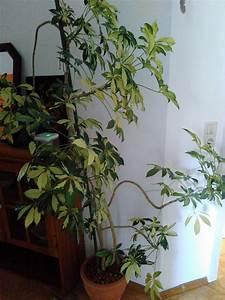 Pflanze Große Blätter : kennt jemand diese gro e pflanze schefflera arboricola pflanzenbestimmung pflanzensuche ~ Avissmed.com Haus und Dekorationen