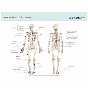 Human Skeletal System Diagram