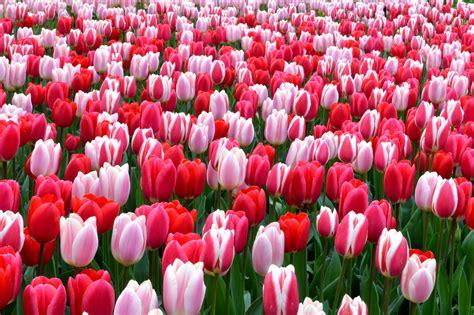Tulip Flower Image by Free Photo Tulip Flower Tulip White Free