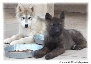 Giant Wolamute Puppies ( Canadian Timber Wolf / Gray Wolf ...