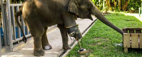 Meet Mosha The First Elephant To Receive A Prosthetic Leg