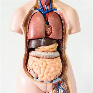 Front View Of Organs In Your Body