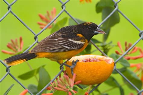 baltimore oriole aspen song wild bird food