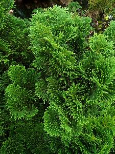 Arbres A Pousse Tres Rapide : beautiful haie de jardin a croissance rapide photos ~ Premium-room.com Idées de Décoration