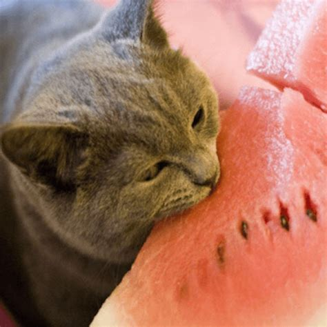 can kitten eat watermelon