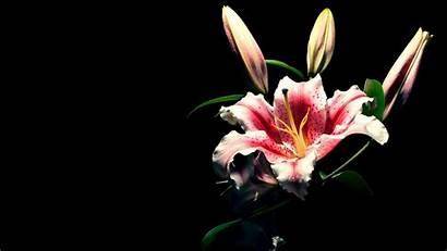 Lily Wallpapers Flower Flowers Background Stargazer Desktop