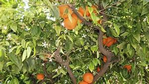 Baum Mit Blüten : baum mit bl ten und orangen stockbild bild von nahrung italien 35945211 ~ Frokenaadalensverden.com Haus und Dekorationen