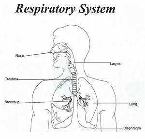 Human Respiratory System Diagram For Kids Respiratory