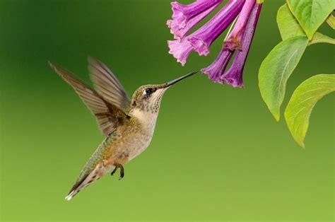plants that attract hummingbirds the old farmer s almanac