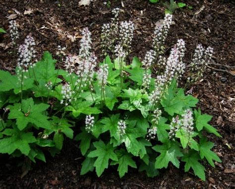 shade plants canada tiarella cordifolia foam flower full shade to part shade blooms in may 6 12 quot h x 12 18 quot w