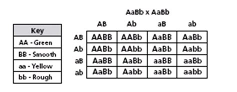 genetics  punnett squares quiz  proprofs quiz
